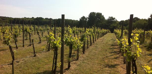 vin-kent-vineyard